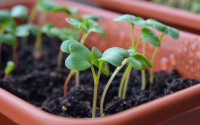 Właściwości kiełków rzodkiewki Home&Kitche Garden